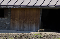 16 luglio - Lignan - Rifugio Cuney (Luca Rodriguez) Tags: aosta valle lucarodriguez moontagna mountain valledaosta trekking hiking altavia altavia1 marmotta