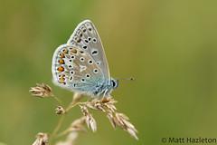 Common blue (Matt Hazleton) Tags: commonblue butterfly nature wildlife animal outdoor insect canon100mm macro canoneos7dmk2 canon eos 100mm 7dmk2 summerleys bcnwildlifetrust northmpatonshire matthazleton matthazphoto polyommatusicarus
