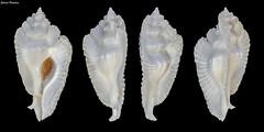 Timbellus bednalli (GaboUruguay) Tags: bednallsmurex timbellus bednalli pterynotus murex rocksnail murexsnail animalia mollusca gastropoda hypsogastropoda neogastropoda muricoidea muricidae muricinae seasnail marine gastropod mollusk gabouruguay gabrielpaladino collection collectable shell seashell conch caracola caracol snail marino animal closeup macro canon sx50 raynox dcr250
