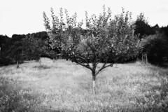 Nichts ist fr mich mehr Abbild der Welt und des Lebens als der Baum. (One-Basic-Of-Art) Tags: baum tree wiese blackandwhite black white noir blanc canon canoneos canoneos350d 1basicofart onebasicofart oboa annewoyand marktbreitenbrunn breitenbrunn altmhltal bayern germany deutschland reiseninbayern urlaub schwarzundweis schwarz weis noiretblanc ste zweige nature natur konomie obstbaum
