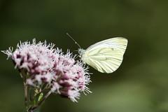Heubachniederung V (michel1276) Tags: kohlweisling schmetterling butterfly mariposa papillon makro macro earthnaturelife