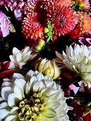 Dlies. Dahlias. Dalias. (Jess 56) Tags: bulaklak flower  fleur flor fiore    iek flors flores flowers fleurs fiori blumen dalia dlies dahlia