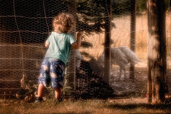 hey mister turkey (JimfromCanada) Tags: turkey farm animal boy child kid peek curious curiosity warm sunny afternoon summer autumn fall cage fence young protect cute adorable ontario canada glow happy peaceful play joy