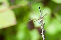 Dragon fly (rpennington9) Tags: dragonfly chattanooga tennessee nikon