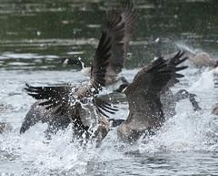 Mayhem! (kevinwolves) Tags: canadagoose bird baggridgecountrypark baggeridge nature wildlife kevinwolves nikon nikond300 nikkor55200mm