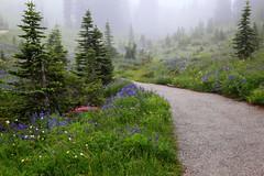 Foggy Wildflowers on Mt. Rainier, ( 2 of 3) (louelke - gone a lot) Tags: mtrainier mtrainiernationalpark wildflowers wildflowermeadowsatparadise trails skylinetrail glaciervista washingtonstate cascademountains volcano fog foggy