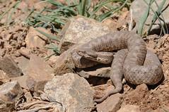 Vipera monticola (aspisatra) Tags: vipera monticola viper vipre atlas morocco marocco snake africa