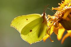 Brimstone, citroenvlinder_004 (cees van gastel) Tags: ceesvangastel natuur nature macro vlinders butterfly brimstone citroenvlinder bouvignebreda canoneos550d tamron70300mm tussenringen extensionrings