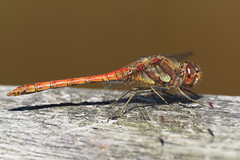 SOOC.... (klythawk) Tags: commondarter sympetrumstriolatum male sooc summer nature closeup red orange yellow grey black white olympus em1 omd 300mm 14xtc claypitnaturereserve wildlifetrust sssi wilford nottingham klythawk