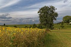 Sommer (M. Franziska D.) Tags: sommer sonnenblumen felder brcken bume