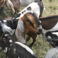 goat friends (elizajanecurtis) Tags: countyfair eliza fair goat livestock ossipeevalleyfair