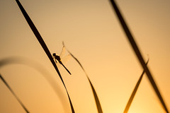 Resting (b. ellabarger) Tags: resting dragonfly insect lakechapman warsawin warsaw indiana midwest reed reeds bug sunset beautiful beautifullight beauty beautyallaroundme beautyinnature beautifulearth nature warmth warmlight warmcolors pastels pastelskies dof depthoffield minimalism abstract art artistic artsy lessismore silhouette silhouettes