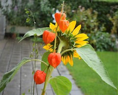 Bouquet Sunflower and Lampion 18.09.2016 (tabbynera) Tags: bouquet sunflower lampion