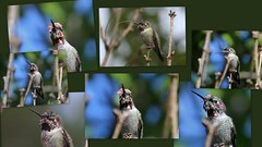 Hummingbird Displays the Molting Process (Neva Swensen) Tags: collage hummingbird display gorget annashummingbird garden molting molt feathers