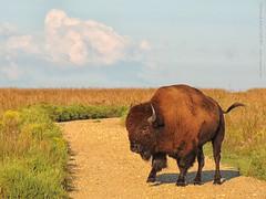 Bison at Tallgrass Prairie, 18 Sept 2016 (photography.by.ROEVER) Tags: kansas prairie flinthills tallgrassprairie tallgrassprairienationalpreserve bison morning chasecounty usa september 2016 september2016