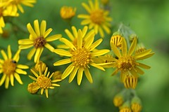 Jakobs-Greiskraut (DianaFE) Tags: dianafe blte pflanze blume wildkraut wiesenblume makro tiefenschrfe schrfentiefe
