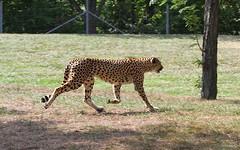 Running Cheetah (praja38) Tags: fastest fast cat spots cheetah african toronto zoo mammal feline bigcat running run paw tail nature wild life wildlife capricorn caps humour cpa