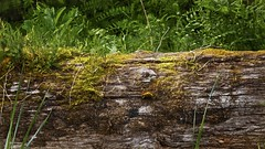 moss on a log (Pejasar) Tags: moss log tree woods island alaska bearisland foliage