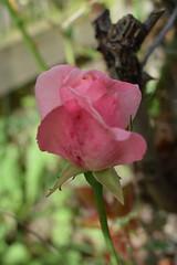 Pink Rosebud 244/366 (Bebopgirl1969) Tags: rosebud pink flower garden
