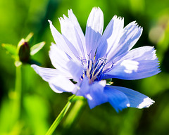 Chicory (hz536n/George Thomas) Tags: 2016 cs5 canon canon5d ef100mmf28lmacroisusm flora michigan prescott summer copyright nature upnorth macro chicory cichoriumintybus