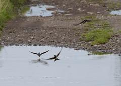 Swallows, No Amazons! (kevinwolves) Tags: swallow bird baggridgecountrypark baggeridge nature wildlife kevinwolves nikon nikond300 nikkor55200mm