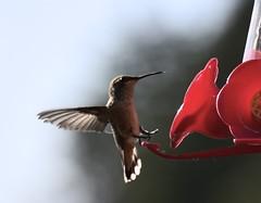 Hummingbird (D70) Tags: feeder eating food anna inexplore