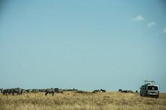 Zebra migration (jhderojas) Tags: masai mara kenia zebra