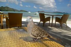 Tortora zebrata - Barred ground dove (Fabio Gardosi) Tags: barred ground dove
