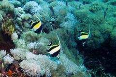Moorish idols (antony5112) Tags: moorish idol moorishidol fish pesci bali sub diving underwater mare sea idolo moresco idolomoresco