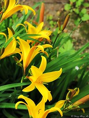 Taglilien (duonghoangmai) Tags: flowercolors flowerphotography naturephotography naturelovers naturephotos flowers blumen gardening blossom blüte lilien taglilien