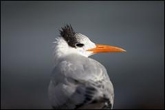 Royal Tern (Adam Sheehy) Tags: galveston island texas royal pelican tern flickrandroidapp:filter=none