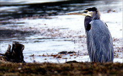 HCS - Blue Heron edition (Wes Iversen) Tags: nature birds hcs blueherons nikkor18300mm clichsaturday roberttjacksonclearwaterpark