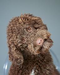 Animal (seymour templar) Tags: iso1600 explored lagottoromagnolo seymourtemplar