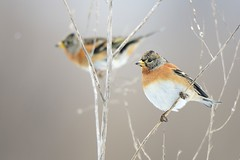 Brambling (Fringilla montifringilla) (m. geven) Tags: november autumn winter snow man cold male fall nature animal fauna wildlife sneeuw herfst natuur keep mustard dier avian songbird avifauna koud gelderland migrant fringillidae foraging bergfink winterplumage nld najaar onkruid passerine zaad zangvogel brambling fringillamontifringilla wintering snowlight forestbird gardenbird zaadeter tuinvogel winterkleed overwinteren wintergast pinsondunord zwartemosterd fourageren vinkachtige michelgeven gemeentemontferland foerageren onkruidzaad toevalligebroedvogel akkerrand sneeuwlicht bosvogel zeerzeldzamebroedvogel onkruidrand algemenedoortrekker nederlandthenetherlandsniederlande
