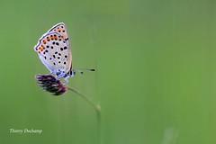 Only me (photosenvrac) Tags: macro nature butterfly insect natural bokeh papillon insecte thierryduchamp