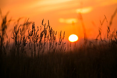Sunset Through the Weeds (Ellen Soohoo) Tags: park sunset dog point bay district shoreline richmond east isabel pt dogpark regional recreational ptisabel 70200f4l 33365 5dmarkiii ebparksok 3652013 365the2013edition