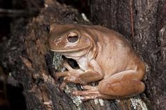 Green Tree Frog (Litoria caerulea) (Gus McNab) Tags: tree green frog caerulea litoria