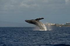 West Maui Breach (b737yyc) Tags: hawaii maui whale humpback lahaina whalewatching westmaui afsvrzoomnikkor70200mmf28gifed auauchannel