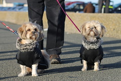 Holly & Pip in double fur coats (smile-a-while) Tags: dogs posing holly pip crosby furcoats walkies