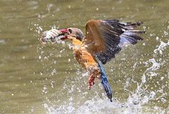 Stork-billed fishing 4 of 4 (kampang) Tags: fishing storkbilledkingfisher pelargopsiscapensis storkbilledfishing