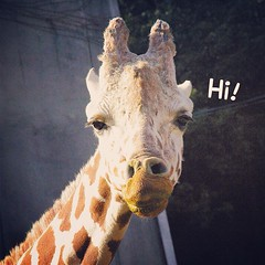 Funny face :-D  研ナオコさんみたい…ww  #higashiyamazoo #typoinsta #giraffe #東山動物園 #キリン