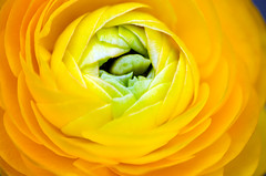 Kind of flower's wink (Pensive glance) Tags: plant flower nature fleur plante ranunculus renoncule wonderfulworldofflowers exquisiteflowers