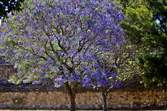 (GaiaLinda) Tags: tree nature mexico arbol oaxaca jacarandatree archeologicalsite zonaarqueolgica montealba ntulareza