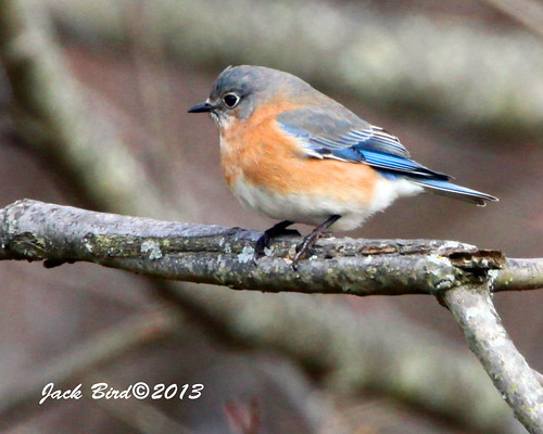 Eastern Bluebird By Jack Bird