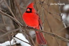 Male Cardinal. (Gillian Floyd Photography) Tags: winter red snow tree male bird branch cardinal twig