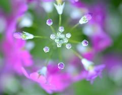 Primula (love_child_kyoto) Tags: flower macro nature spring kyoto wildflower primula botanicalgarden  naturesfinest      masterphotos   takenwithlove  nikond800   d800 dreamlikephotos pmalacoides