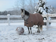 IMG_4886.JPG (drownedvalley) Tags: winter horses cats snowstorm blanket ponies blizzard soccerball sorpresa pasofino sopi dvf snowsoccer eyefi ourhorses horsecat coorain sopibaby ourponies