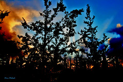 Horshim Forest at Sunset (Nira Dabush) Tags: trees sunset forest israel photo artist photographer fineart     textiledesigner     horshim