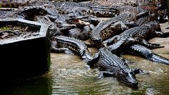 Crocodile Gang (Mansour Obaidi - Photography) Tags: animal farm malaysia crocodile kualalumpur kuching      mansourobaidi