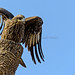 Black Kite, landing on a tree stub